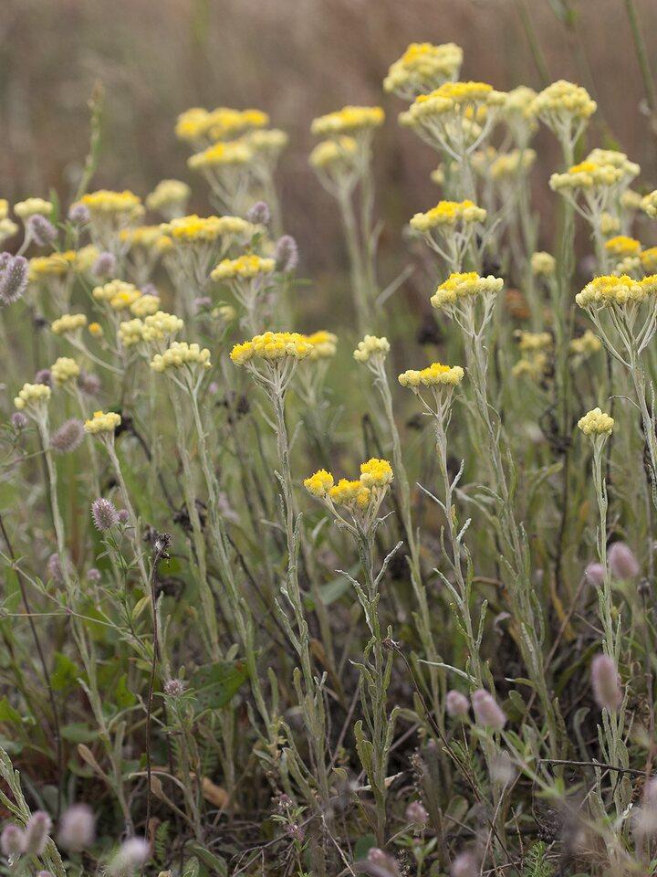 Helichrysum-arenarium-2225.jpg