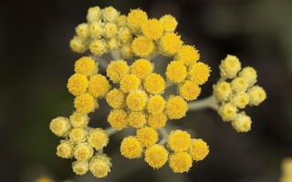 Helichrysum arenarium · smiltyninis šlamutis