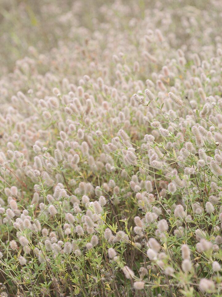 Trifolium-arvense-2228.jpg