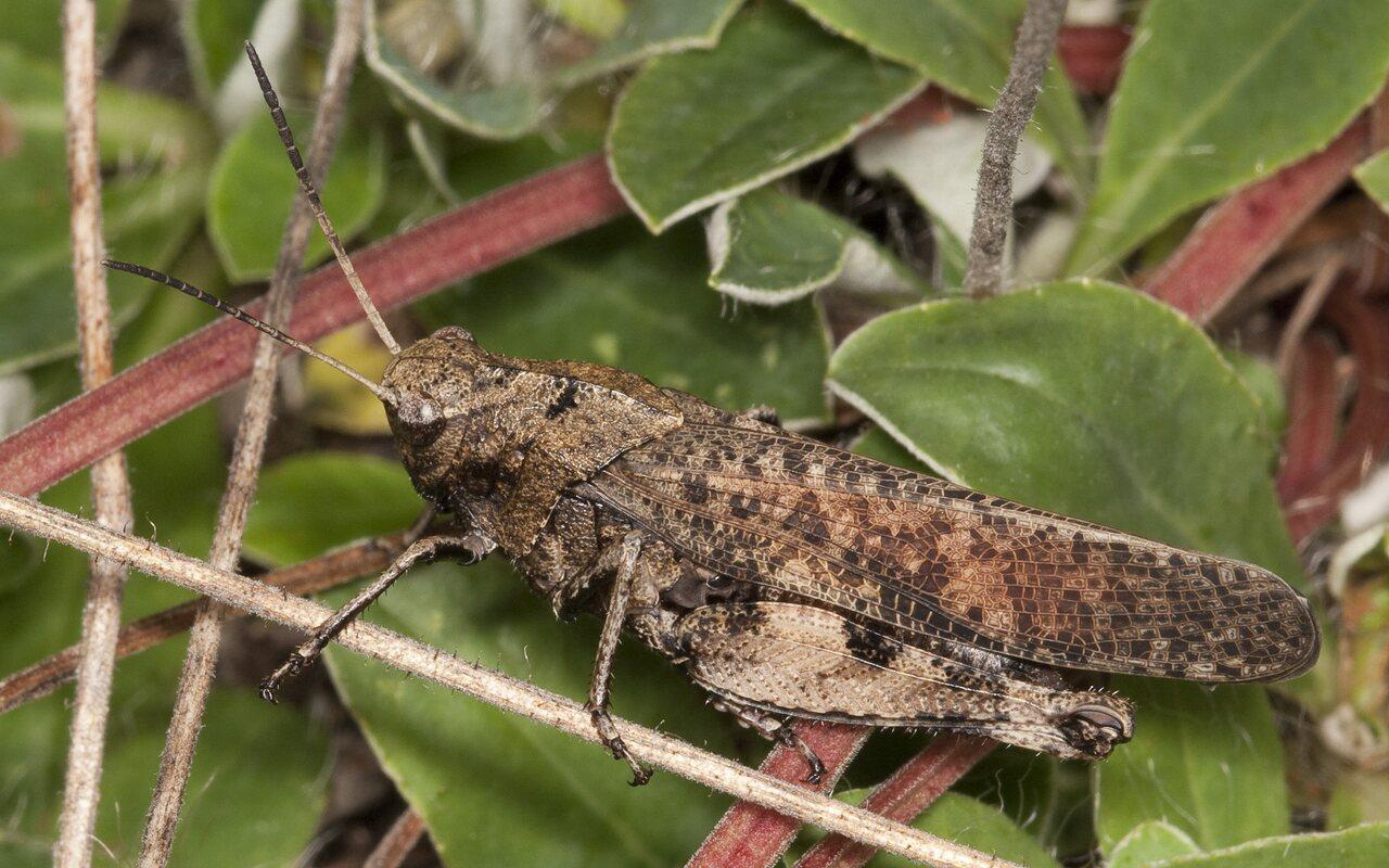 Psophus-stridulus-2231.jpg