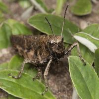 Psophus stridulus, male · raudonsparnis tarkšlys ♂