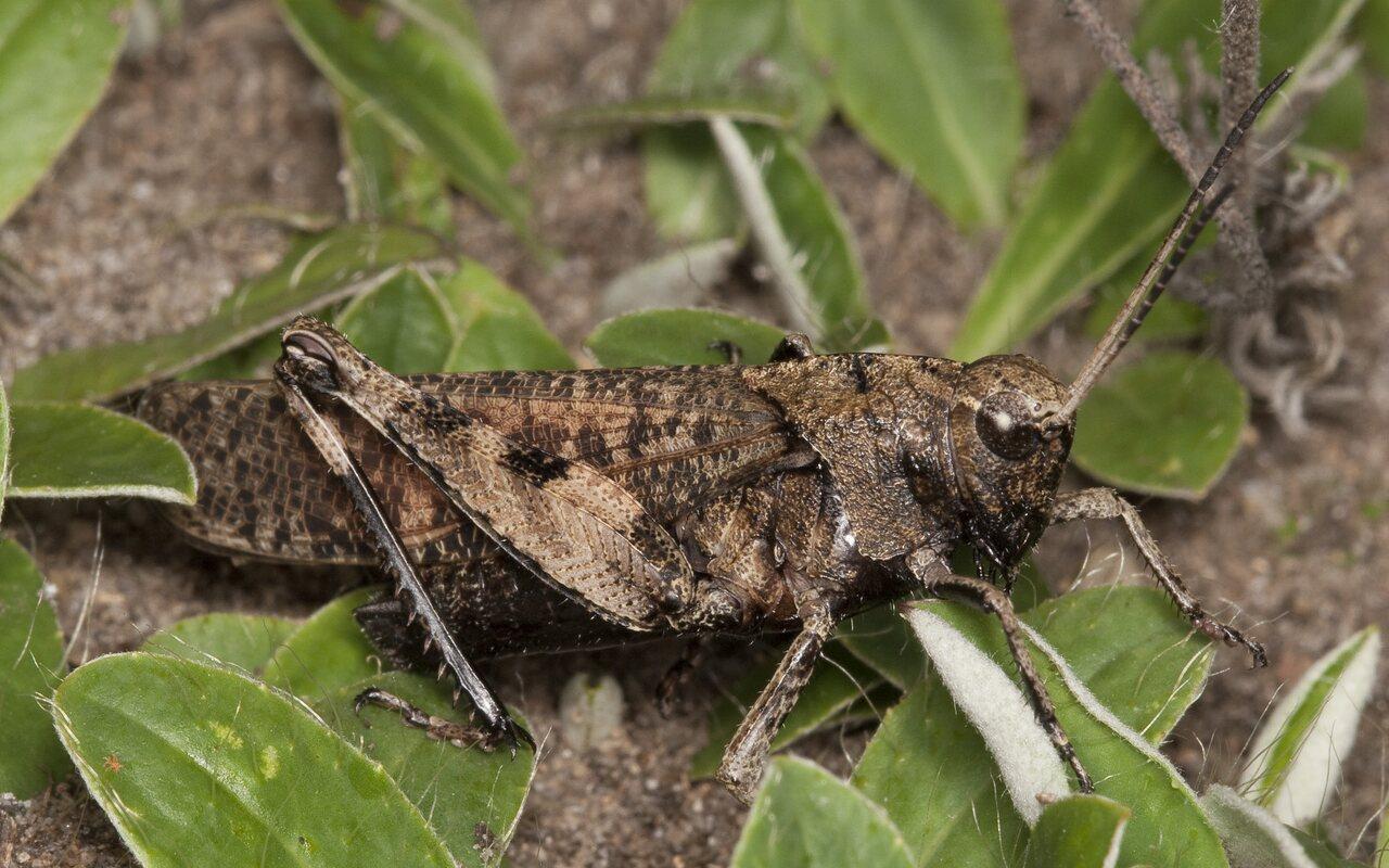 Psophus-stridulus-2233.jpg
