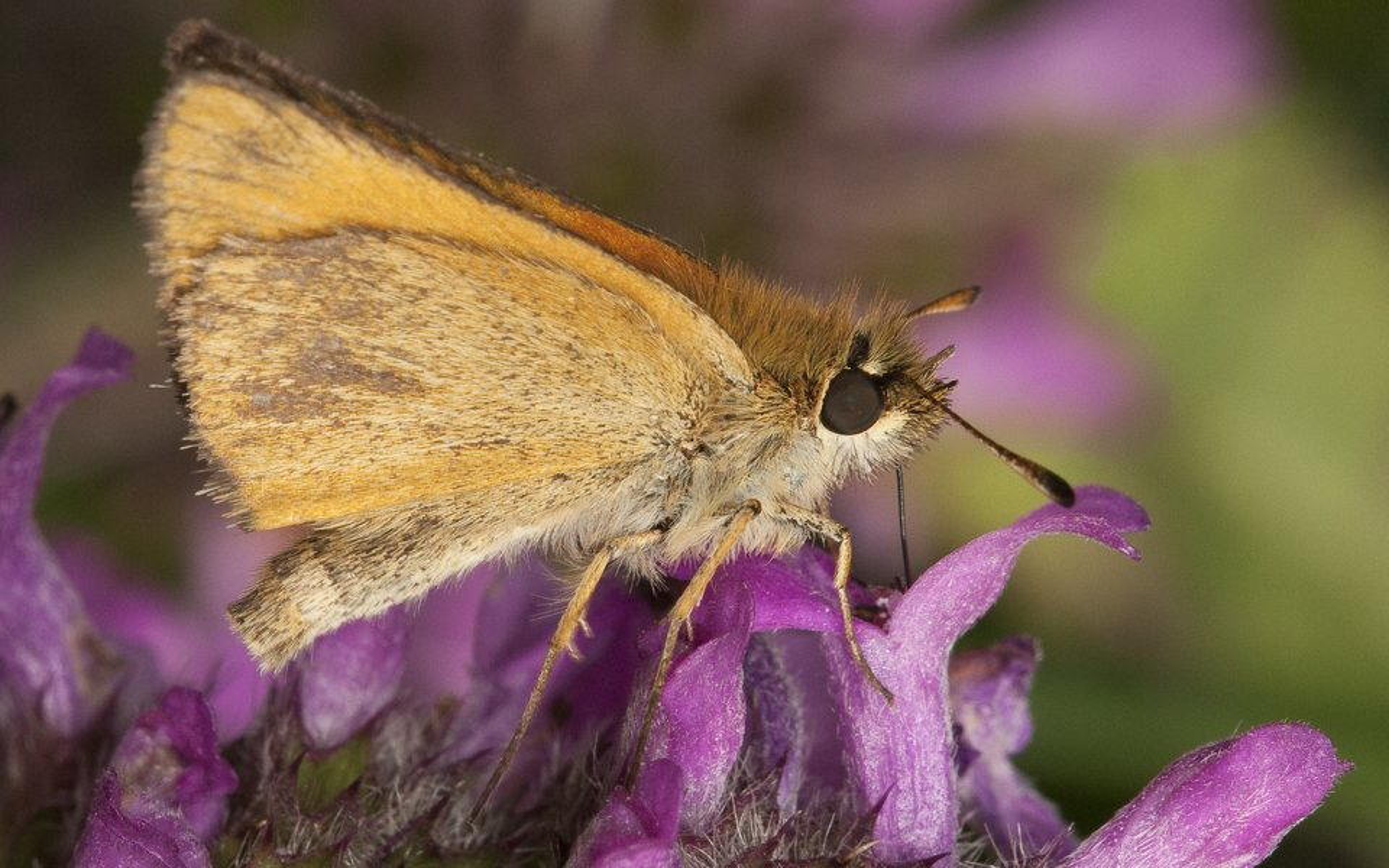Thymelicus-lineola-2240.jpg