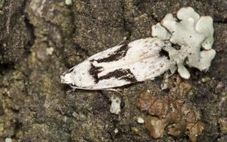 Carpatolechia alburnella · baltajuodė teleiodė