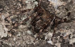Araneus angulatus · kauburiuotasis kryžiuotis