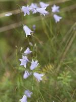 Campanula rotundifolia · apskritalapis katilėlis