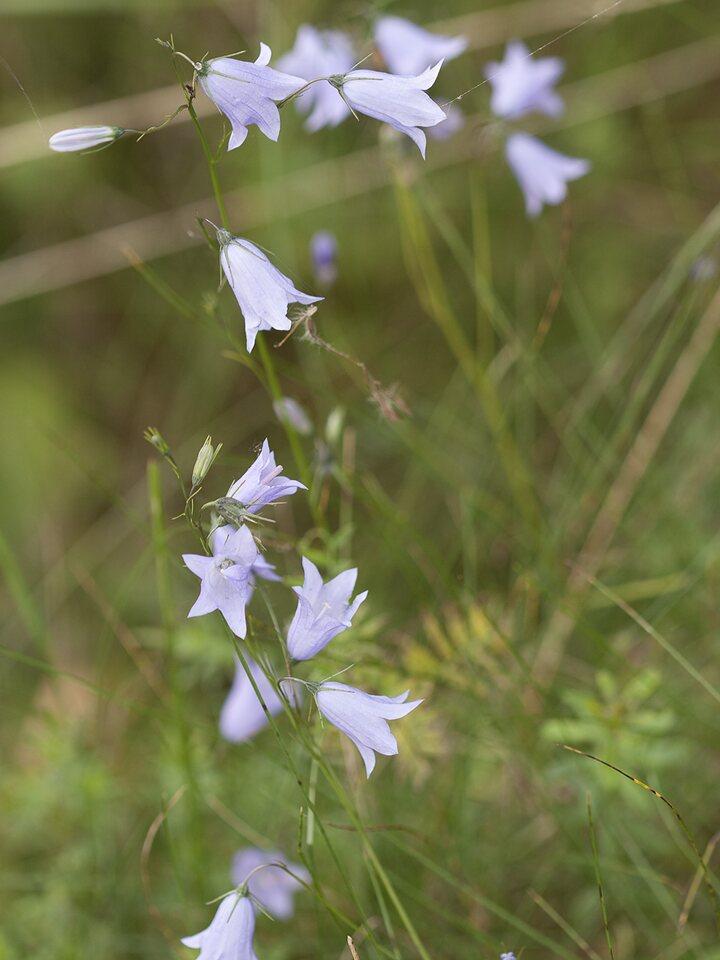 Campanula-rotundifolia-2289.jpg