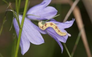 Eupithecia caterpillar · sprindyčio vikšras