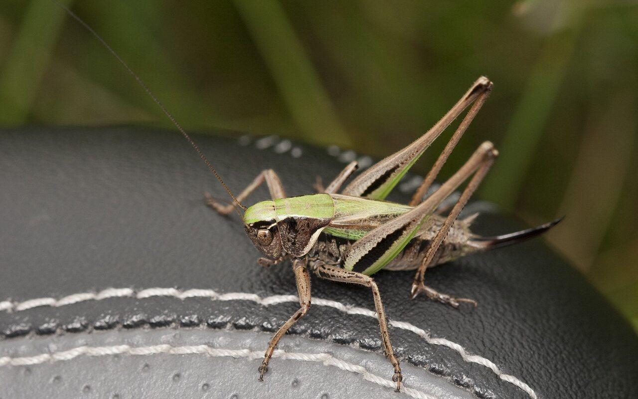 Metrioptera-brachyptera-2294.jpg