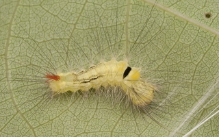 Calliteara pudibunda caterpillar · raudonuodegis verpikas, vikšras