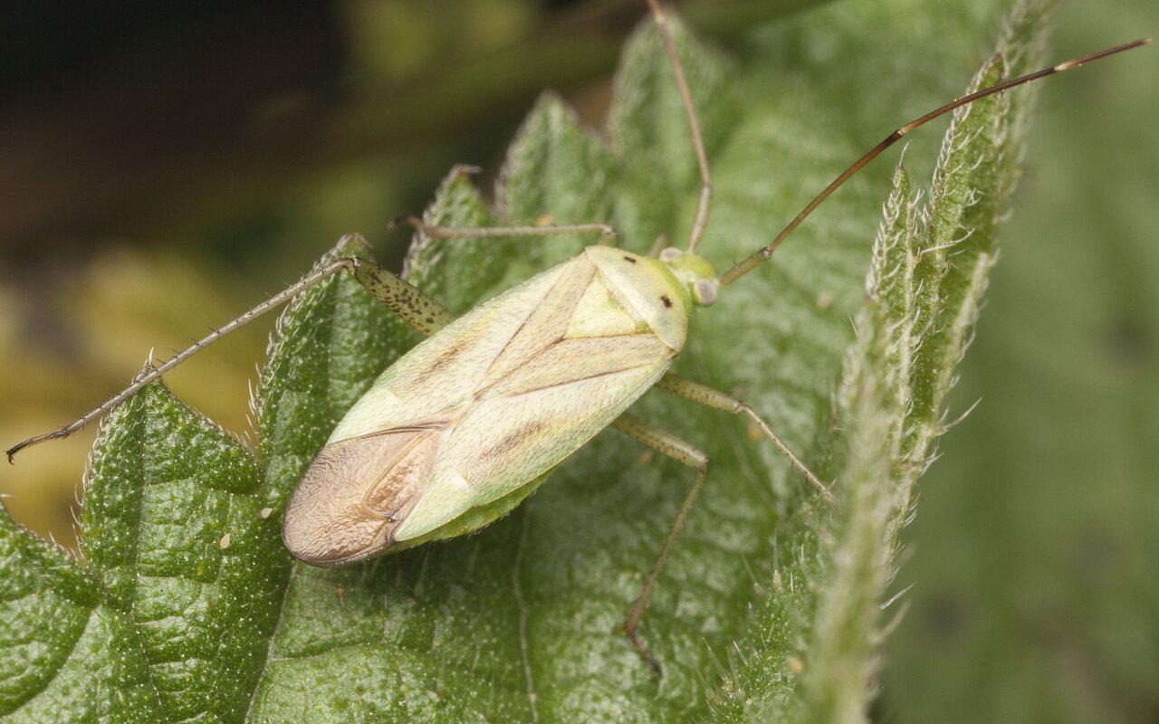 Adelphocoris-quadripunctatus-2312.jpg