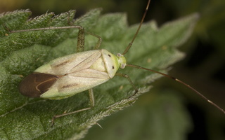 Adelphocoris quadripunctatus · keturtaškė žolblakė