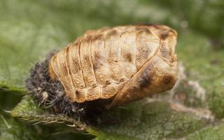 ~ Coccinellidae pupae · boružių lėliukės