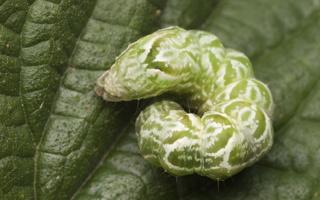 Abrostola tripartita caterpillar · melsvasis pilkūnas, vikšras
