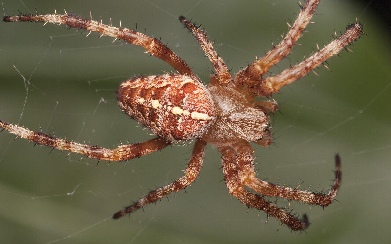 Araneidae-2328.jpg