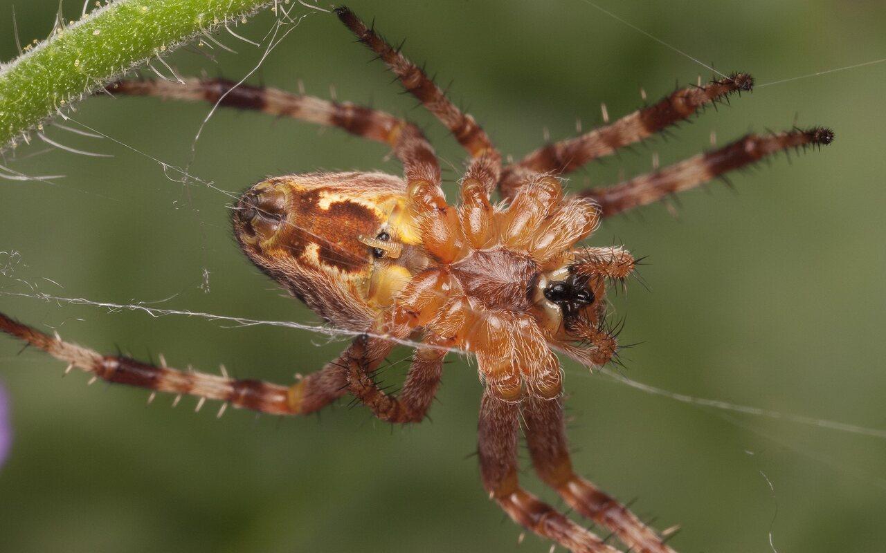 Araneidae-2332.jpg