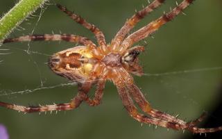 Araneus diadematus female · paprastasis kryžiuotis ♀
