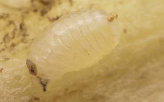 Urophora cardui, larva · daginė margasparnė, lerva