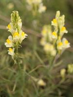 Linaria vulgaris · paprastoji linažolė