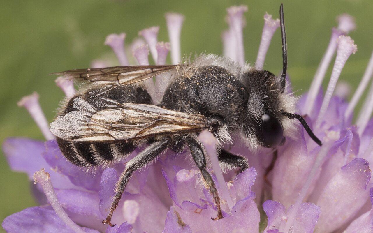 Apidae-2363.jpg