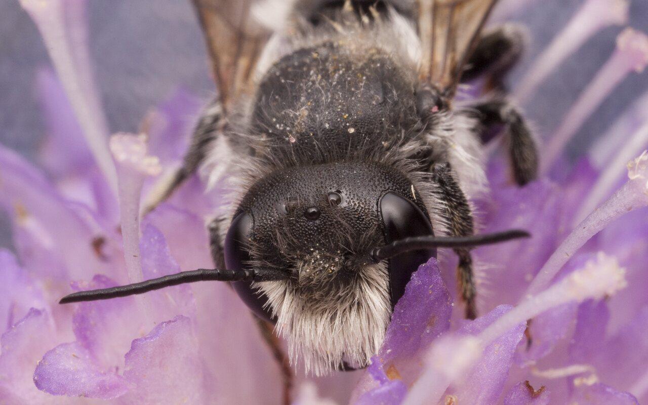 Apidae-2370.jpg