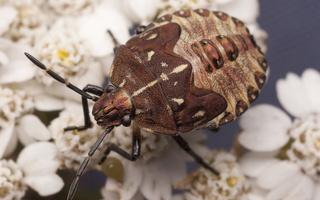 Carpocoris fuscispinus, nymph · tamsiaūsė skydblakė, nimfa