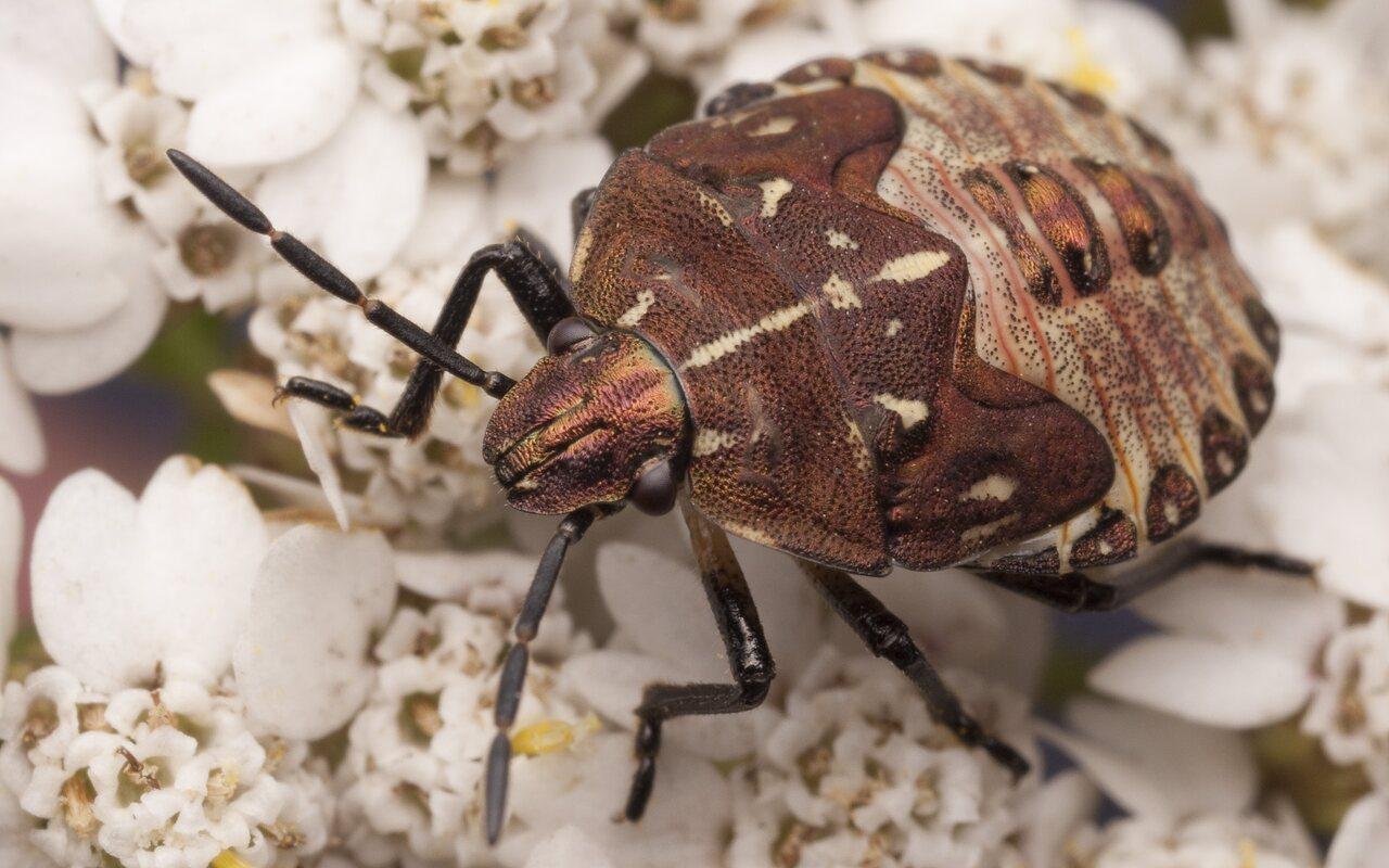 Carpocoris-fuscispinus-2378.jpg