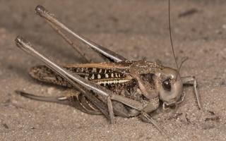 Decticus verrucivorus · margasis žiogas