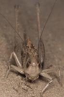 Decticus verrucivorus female · margasis žiogas ♀