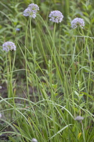 Allium lusitanicum · kalninis česnakas