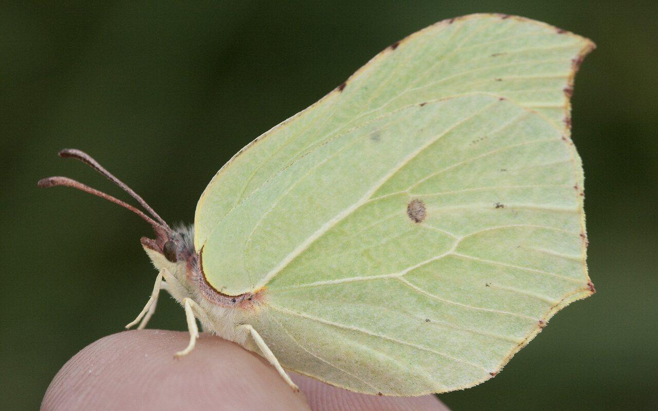 Gonepteryx-rhamni-2404.jpg