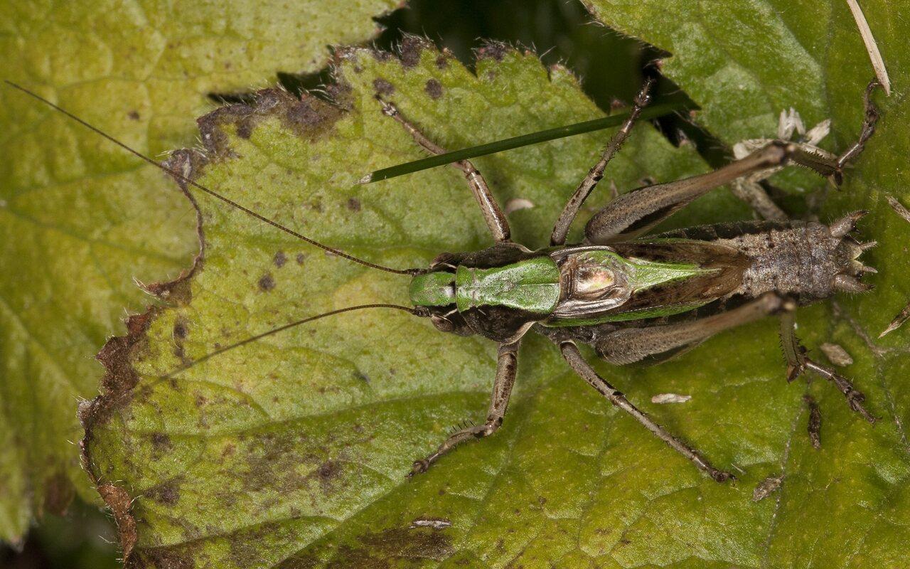 Metrioptera-brachyptera-2407.jpg