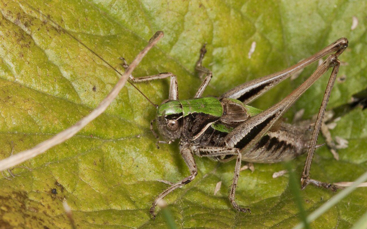 Metrioptera-brachyptera-2408.jpg