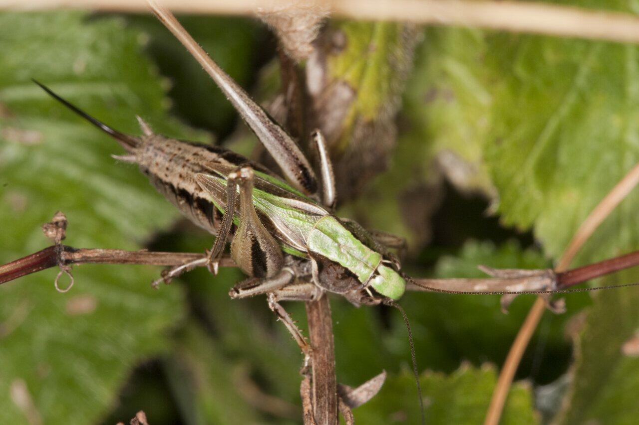 Metrioptera-brachyptera-2410.jpg