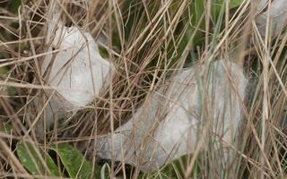 Agelena labyrinthica · labirintinis piltuvininkas