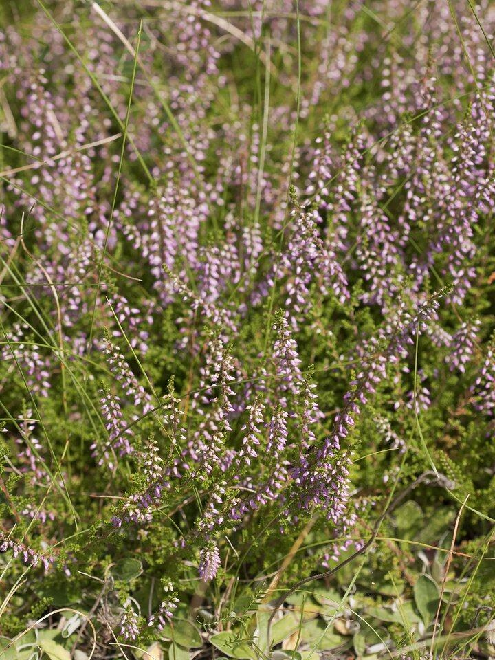 Calluna-vulgaris-2439.jpg