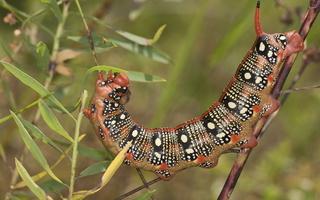 Hyles euphorbiae caterpillar · karpažolinis sfinksas, vikšras