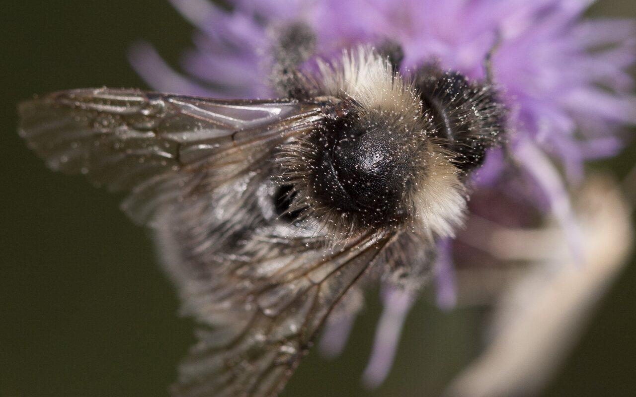 Apidae-2478.jpg