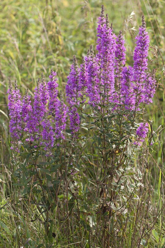 Lythrum-salicaria-2490.jpg