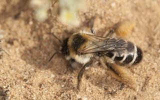 Dasypoda altercator · gauruotakojė bitė