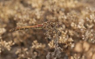 Sympetrum vulgatum female · paprastoji skėtė ♀