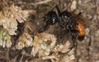 Hymenoptera 2512