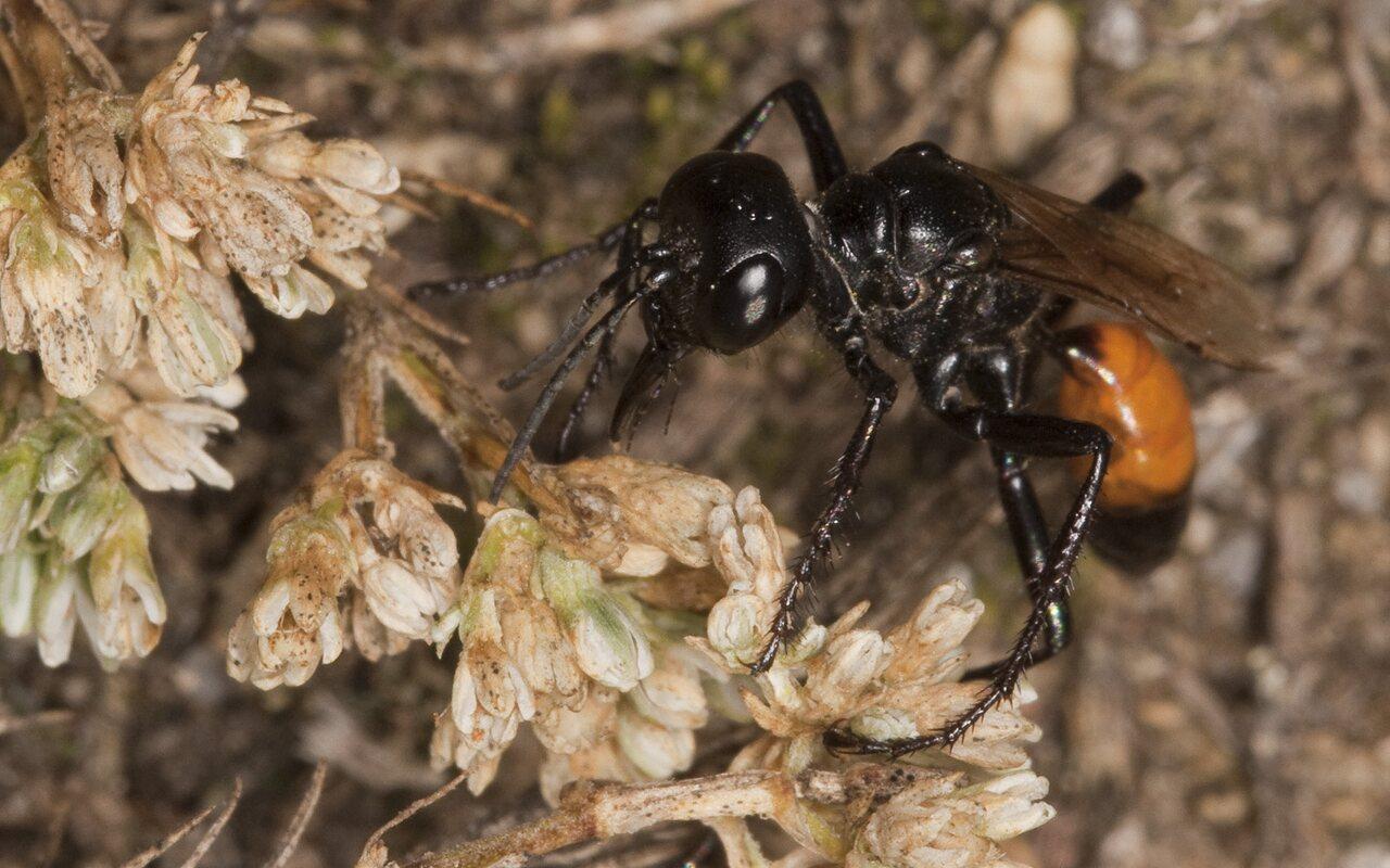 Hymenoptera-2512.jpg