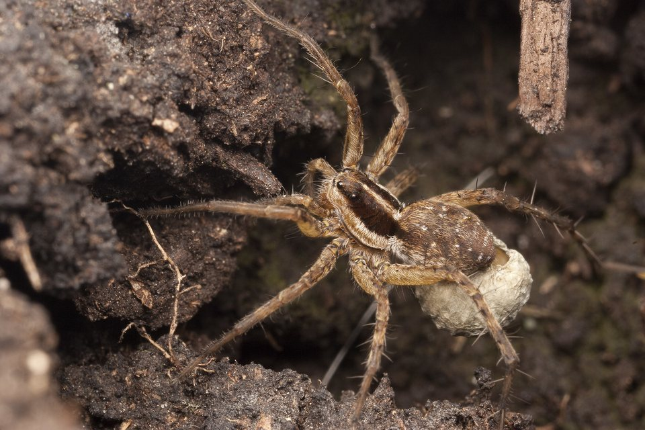 Lycosidae-2531.jpg