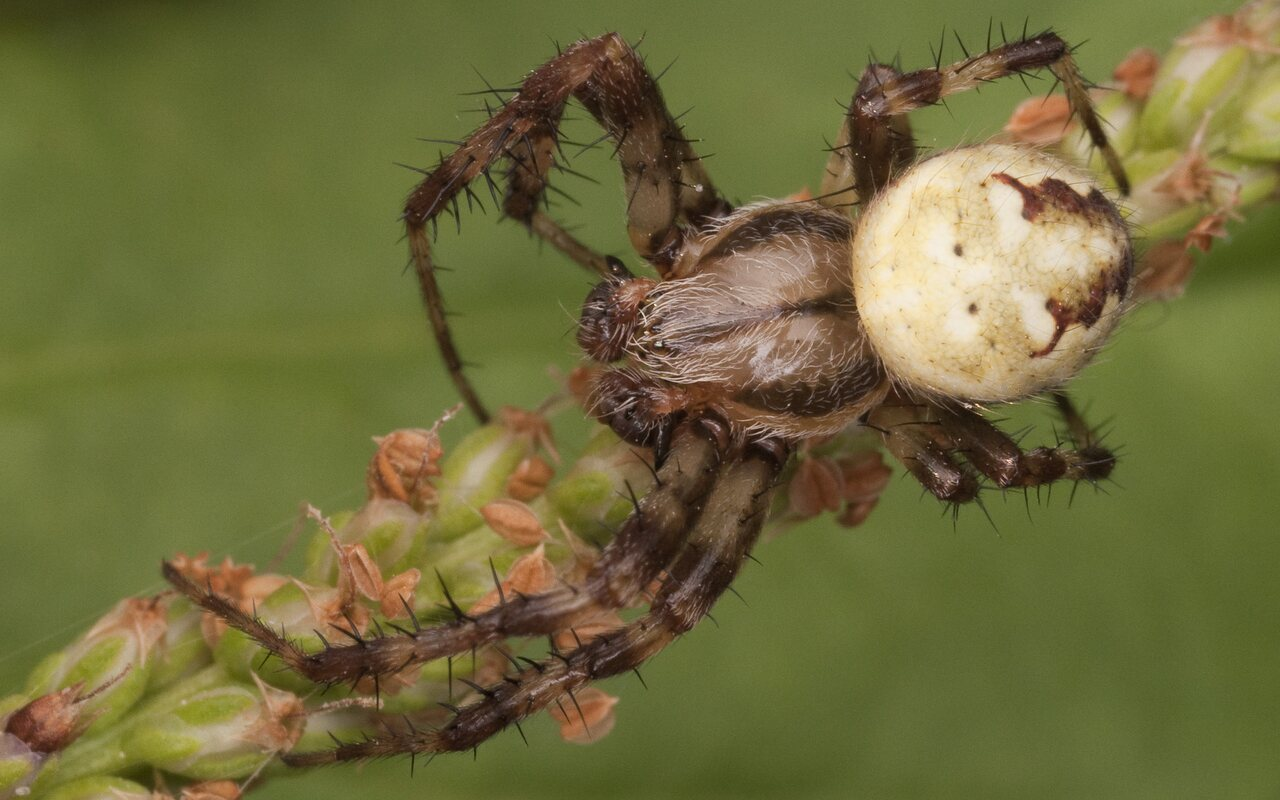 Araneidae-2541.jpg