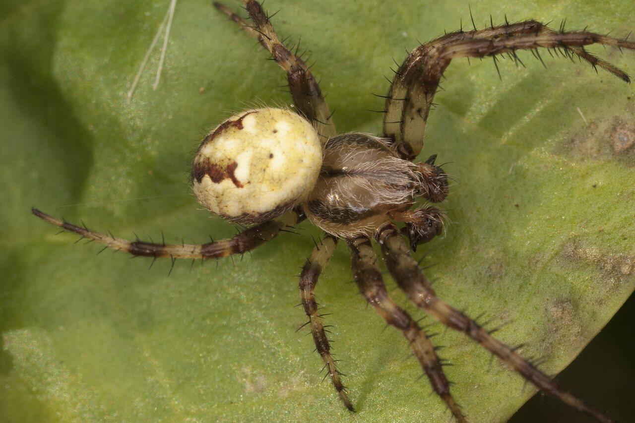 Araneidae-2544.jpg