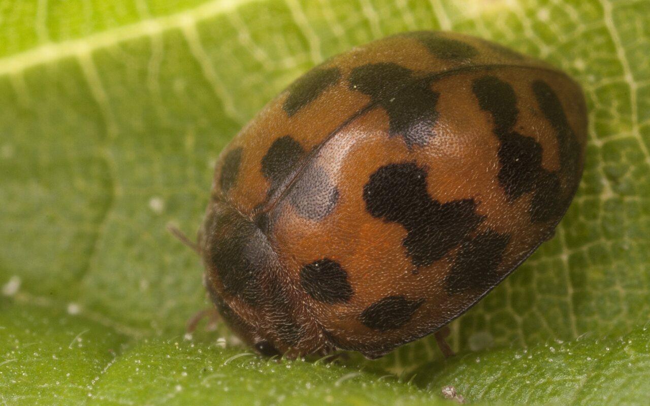 Subcoccinella-vigintiquatuorpunctata-2564.jpg