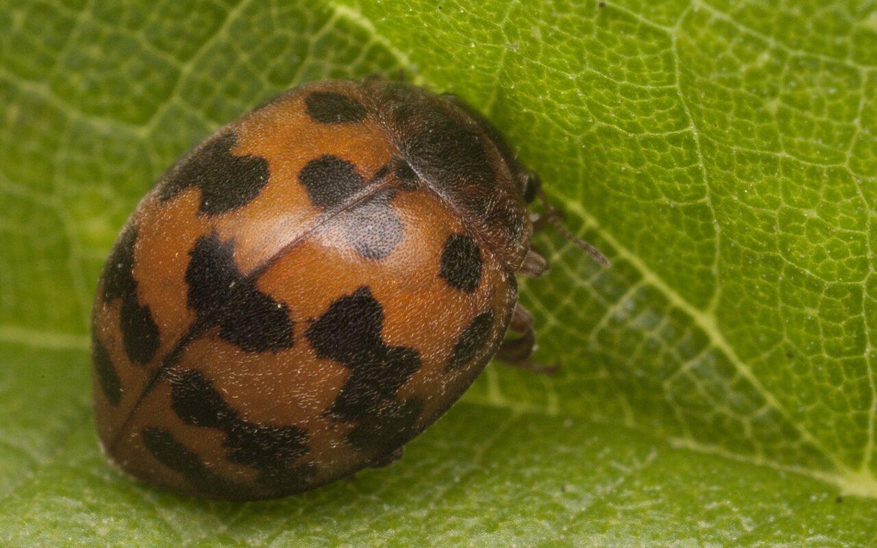 Subcoccinella-vigintiquatuorpunctata-2565.jpg