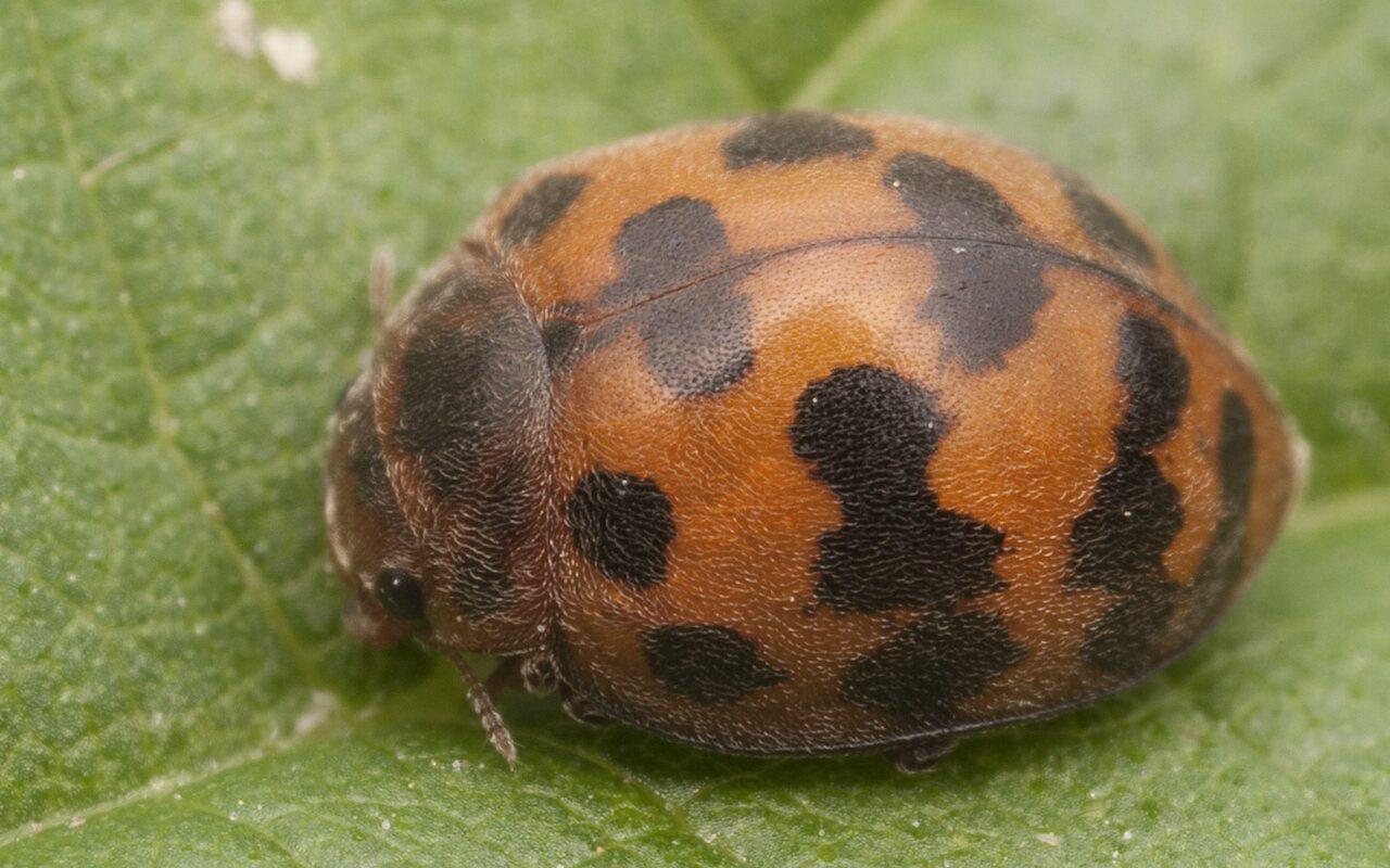 Subcoccinella-vigintiquatuorpunctata-2568.jpg