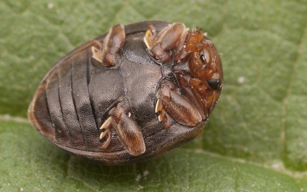 Subcoccinella-vigintiquatuorpunctata-2571.jpg